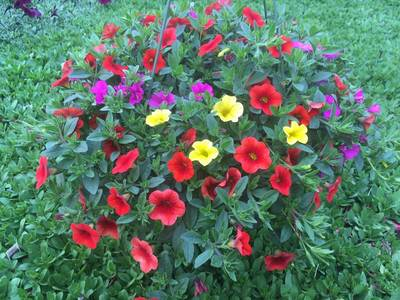 Million Bell Hanging Basket Multicolored